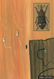 Latipihklase vastsed kaevandavad looklevaid käike nõrgestatud latiealiste ja vanemate mändide õhukesekoorelise tüveosa koore all. (Foto:forestryimages.org)