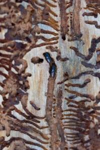 Üraskite puhul närib emasputukas piki tüve kulgeva 6–15 cm pikkuse emakäigu, kuhu munetud munadest koorunud valkjad vastsed teevad toitudes tüvega ristisuunas vastsekäigud. (Foto:RMK)