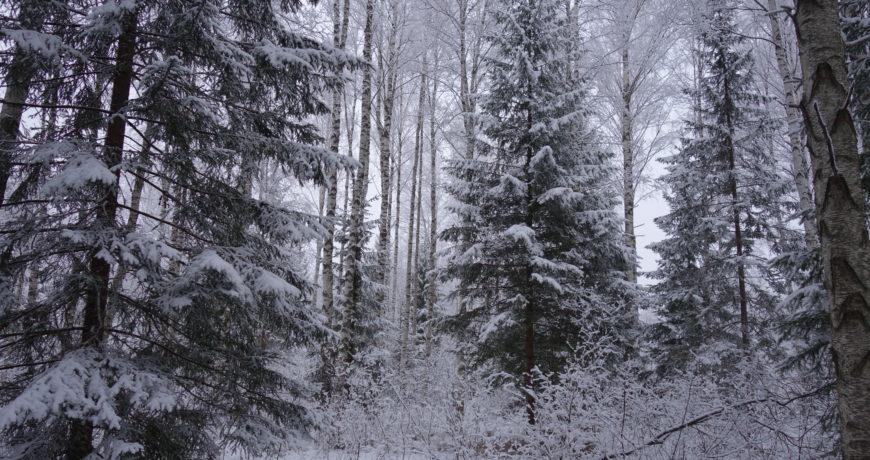 mets, metsa majandamine, talvine mets