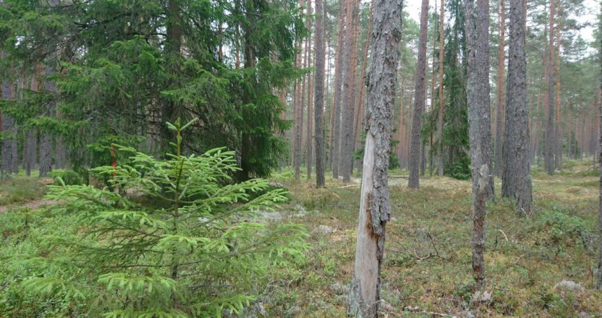 männik, kuusk, metsapilt, mets