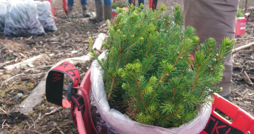 Metsaistutus, eramets, taimed, metsa uuendamine